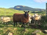 Sheep on Skye by Morgan Large
