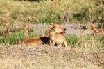 Mother Lion with her cub after a big kill on the Serengeti