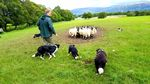 Sheep vs. Collie