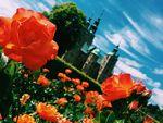 Roses at Rosenborg by Sarah Perkins
